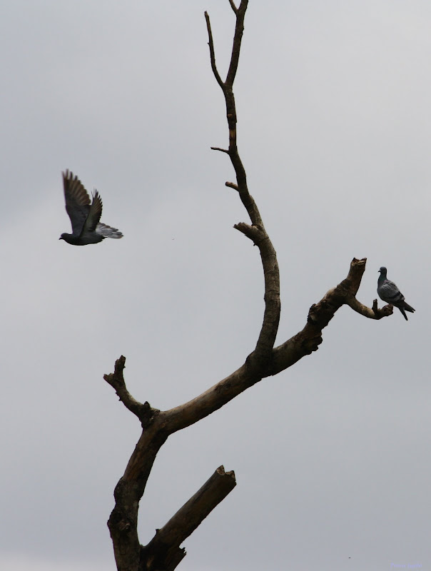 Pigeon Flying away
