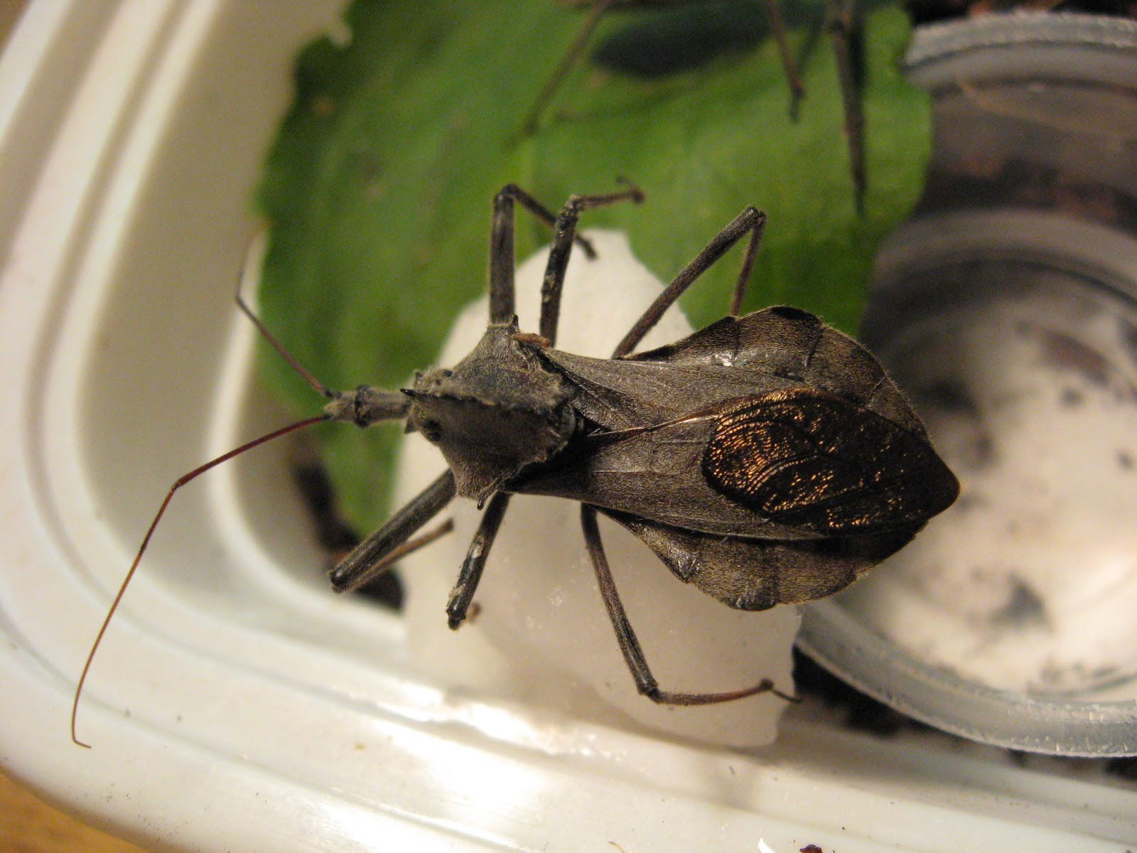 Inventing the Wheel bug. Normal Biology  Inventing the Wheel bug
