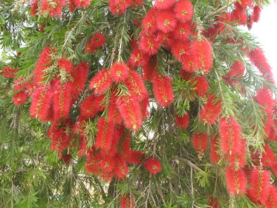 The Largest Of This Tree Species That I Have Found Was About 40 Feet Tall Near Picasso Gardens In Malaga Bottlebrush Shaped Flowers Grow Out A