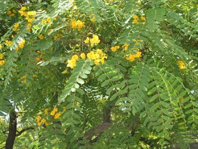 The worlds tree species rosewood tipuana tipu rosewood tipuana tipu mightylinksfo