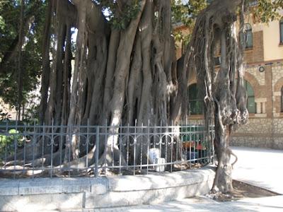 Ficus+Macrophylla+large.jpg