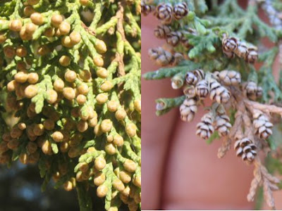 Spanish Juniper polen cones
