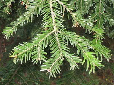 European silver fir branch
