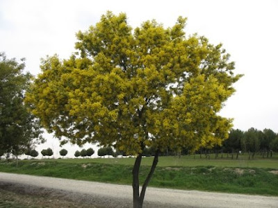 The Worlds Tree Species: Silver Wattle or Mimosa - Acacia dealbata