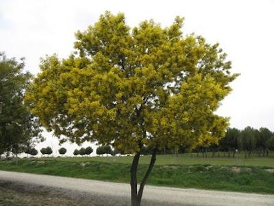 The World´s Tree Species: Silver Wattle or Mimosa - Acacia dealbata