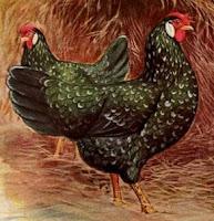 Chicken: Ancona