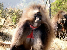 Male gelada