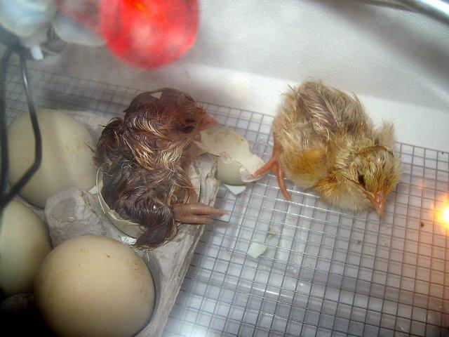 [chicksc.JPG]