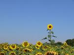 Sunflower, Ikang Fawzi dan Marissa Haque