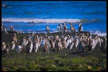 Pingüinera en Chubut