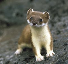 it's a stoat!!!