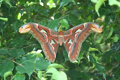 Giant Furry Moth