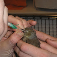 Silent Spring: Salmonella in Songbirds