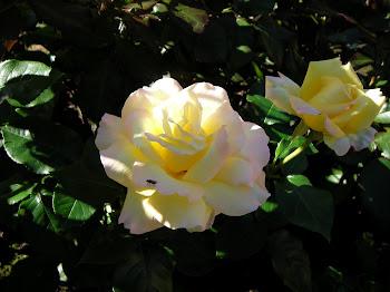 Peace ruusu