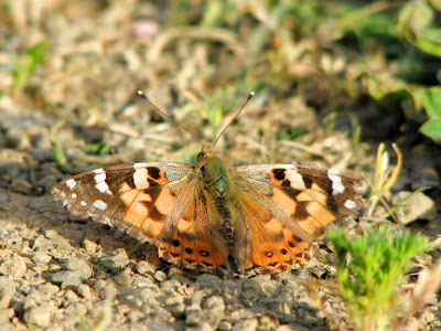 painted lady butterfly. Painted Lady Butterfly photo