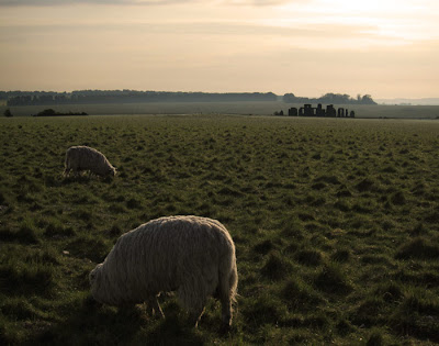 Sheep at Stonehenge. photograph by Tim Irving