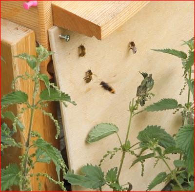 frelon asiatique le blog l 39 origine du jardin de verrines. Black Bedroom Furniture Sets. Home Design Ideas