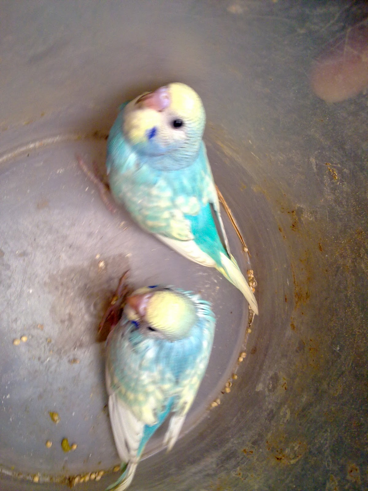 Hartini Bird Amp Bettas American Batik Budgie Rare Color