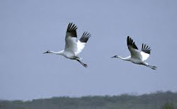Flyiing Whooping Cranes