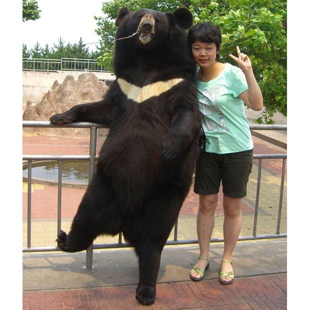 Tian Tian a retired female bear has become a celebrity in a Chinese zoo by posing for pictures with tourists.
