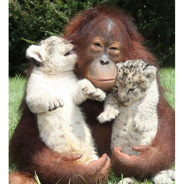 Orangutan Hanama cuddles these two baby lion cubs as he plays dad to the young pair.