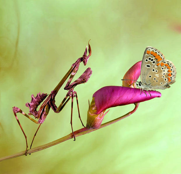 A mantis about to catch a butterfly
