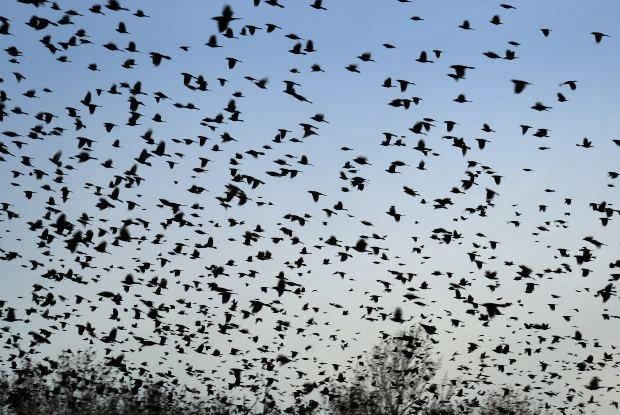 #FeedtheBirds 1: Too Many Blackbirds at the Feeders!
