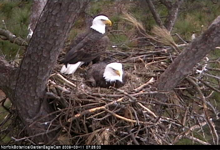 Bald eagle nest with eggs - photo#17