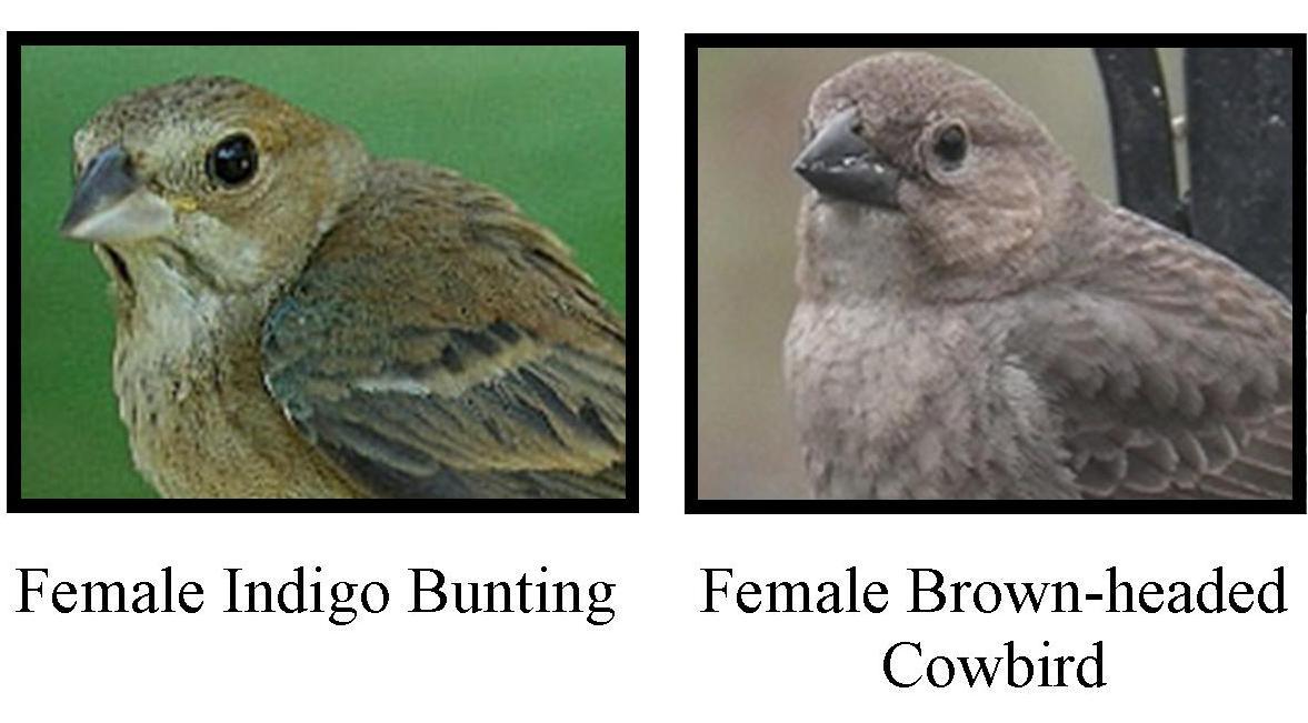 Indigo bunting female