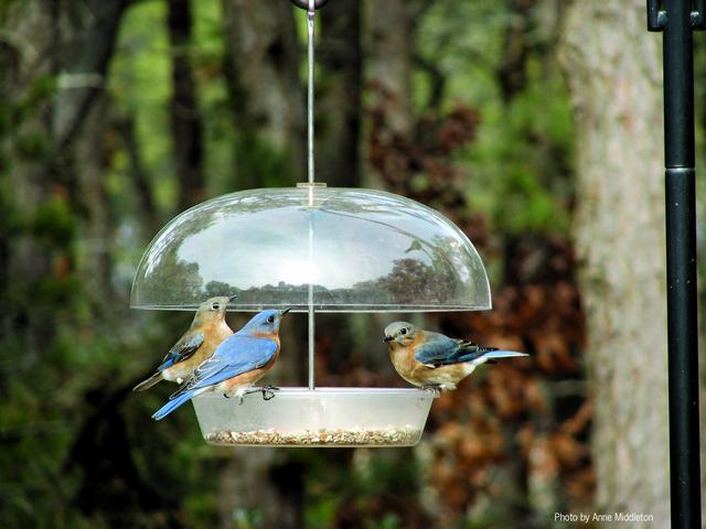 La sociedad Indiana Bluebird