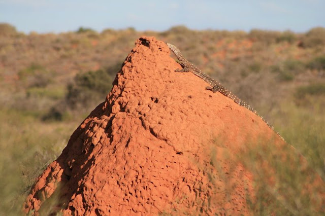 Lizard on Termite Mound Australia - © CKoenig