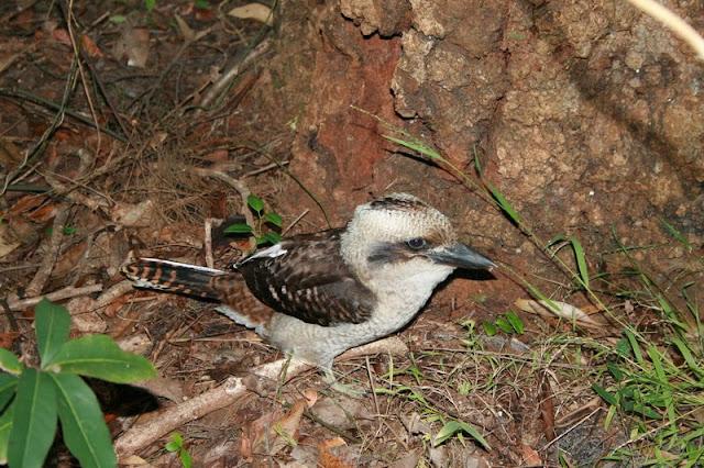 Kookaburra Bird, Australia - © CKoenig