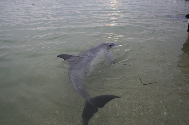 Dolphin Monkey Mia Shark Bay Western Australia - © CKoenig