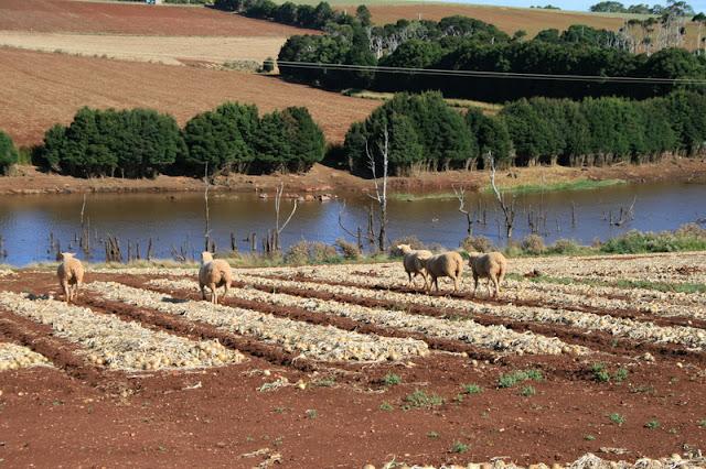 Sheep munching onions, Wynyard, Tasmania, Australia - © CKoenig