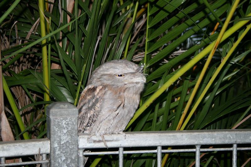 Frogmouth Owl, Western Austraila - © CKoenig