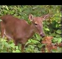 es absolutamente obvio. Para todos aquellos que vieron Bambi en la