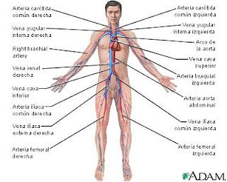 el cual llega a través de las arterias coronarias. Si el flujo sanguíneo en estas arterias se bloquea, se produce lo que conocemos como un ataque al corazón o infarto al miocardio, donde muere la porción de músculo cardiaco privado de oxígeno. El bloqueo en las arterias coronarias puede producirse por varias razones. Una de ellas es que en su interior se acumulen depósitos de grasa que provocan su endurecimiento. En este caso se produce la arteriosclerosis, que puede ser causa de un ataque al corazón debido a la falta de oxígeno en el músculo cardiaco.