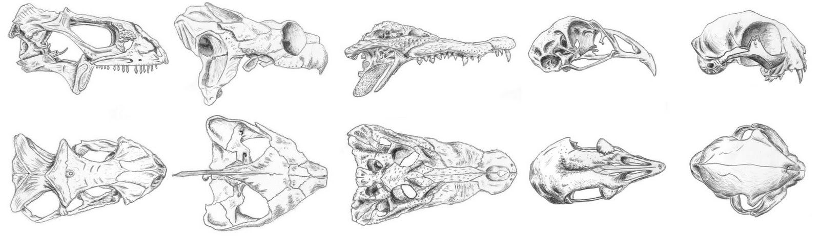 anatomy of the vertebrate skull The neck begins at the base of the skull and through a series of seven vertebral segments connects to the thoracic spine cervical spine anatomy and neck pain.