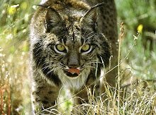 Lince!!