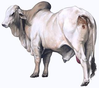 leptospirosis en bovino: