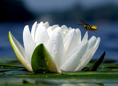 Arts and life lotus flower symbol of purity and great beauty untouched by the impurity lotus symbolizes the purity of heart and mind the lotus flower represents long life health honor and good luck mightylinksfo