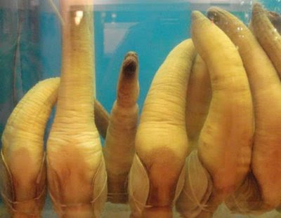Geoducks 7 Worlds Most Strange Species   Geoducks !