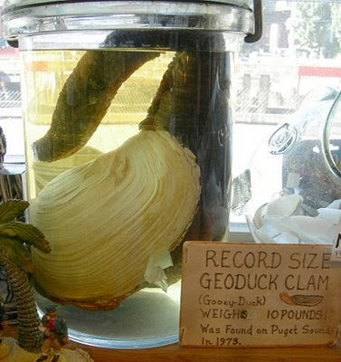 Geoducks 8 Worlds Most Strange Species   Geoducks !
