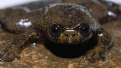 World's only lungless frog
