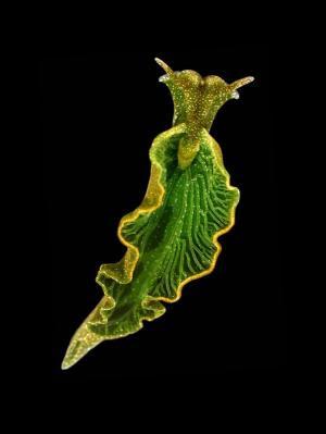 Solar-powered sea slug