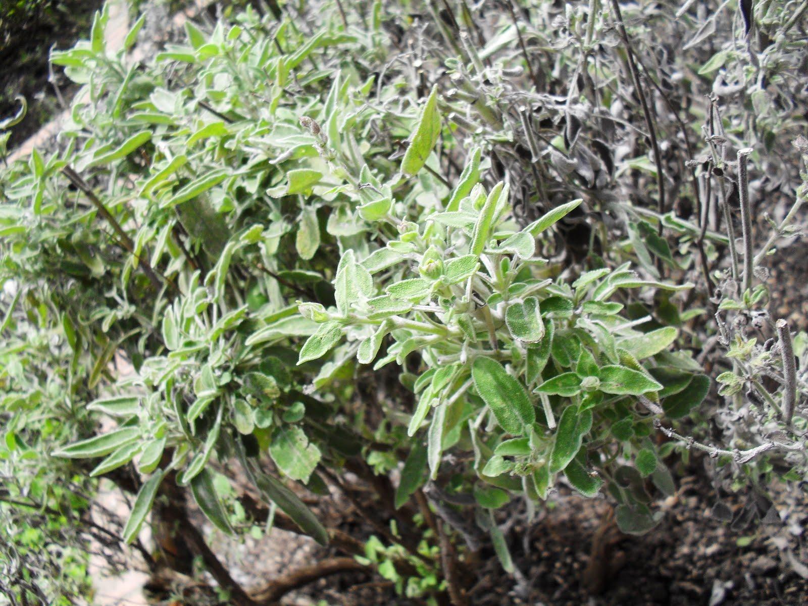 descripción botánica planta herbácea de unos 40 cms de alto con