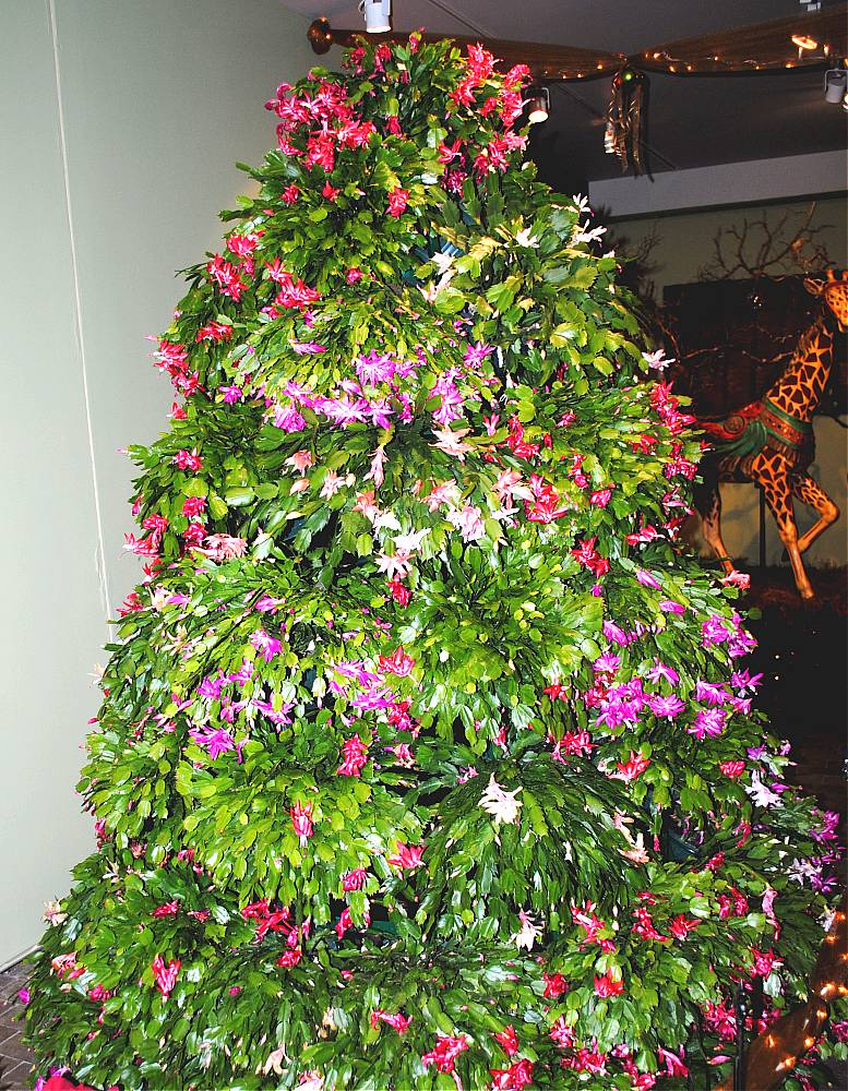 christmas tree cactus garden - photo #33