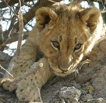 Photography Of Cute Wild Lions
