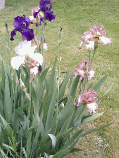 Iris in backyard