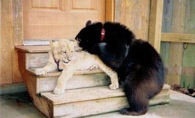 Brothers 11 Foto foto Persaudaraan Antara Beruang, Singa Dan Harimau (Bagaimana Bisa?)